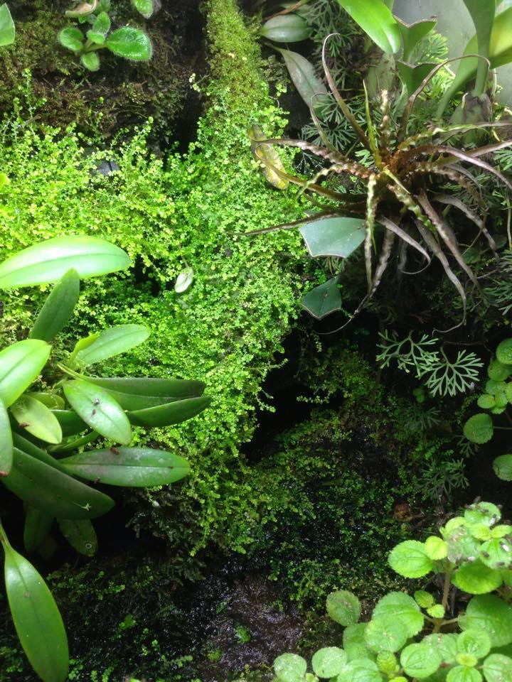 Selaginella rotundifolia