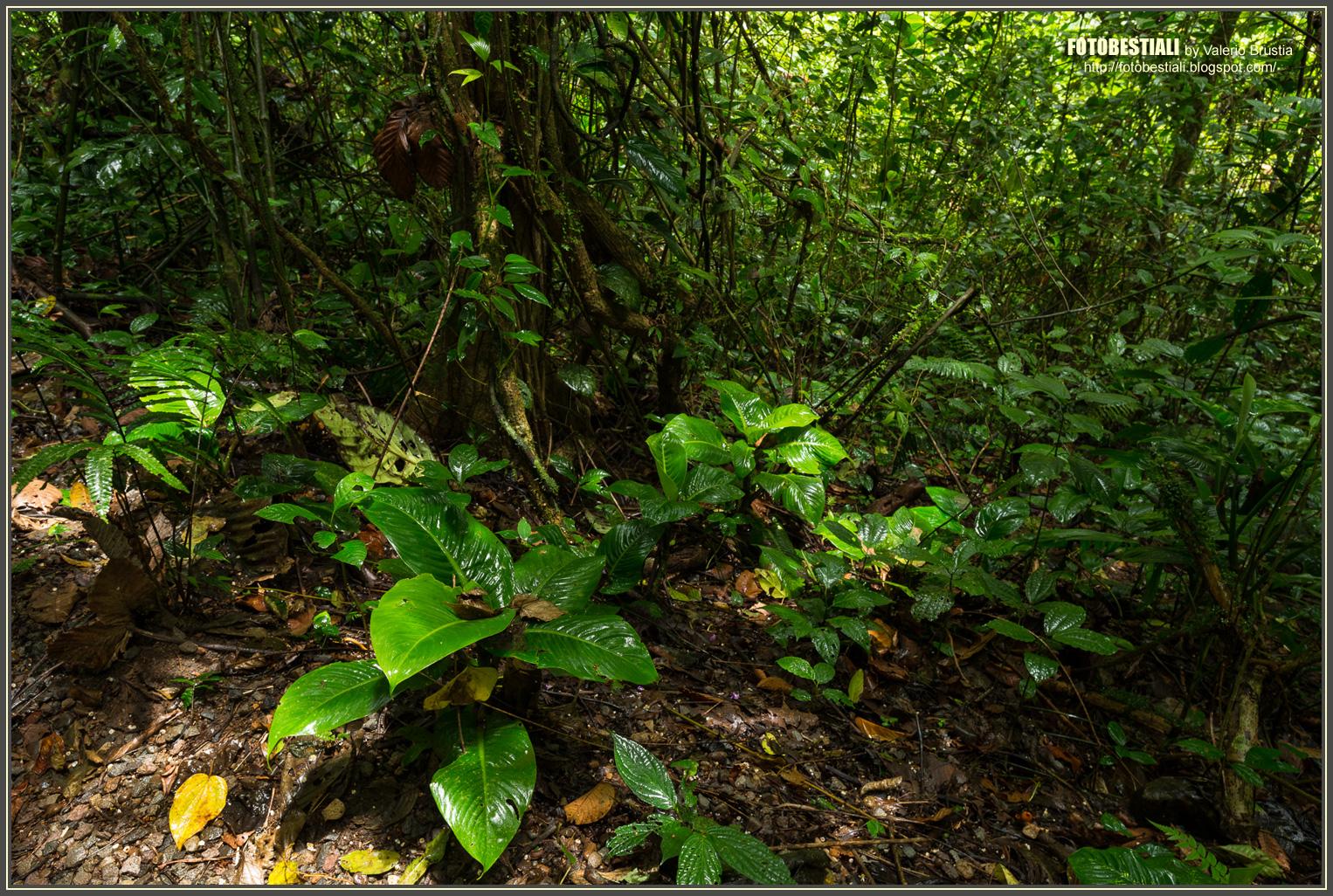La foresta pluviale terraria for Piante da sottobosco