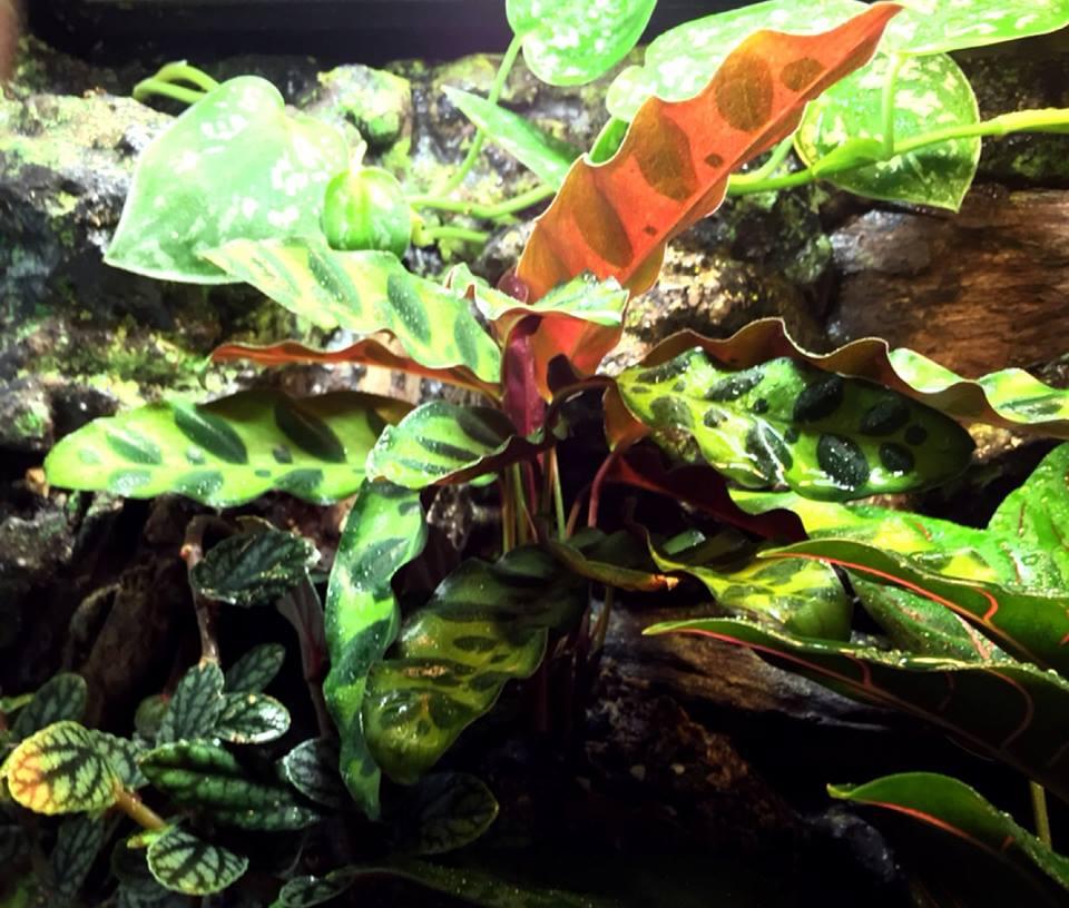Calathea lancifolia 5
