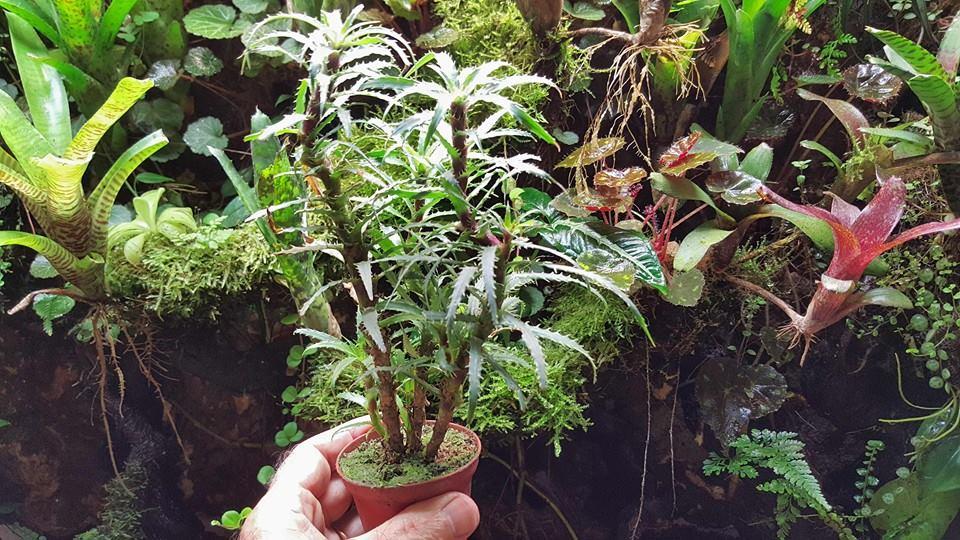 Cryptanthus microglazioui