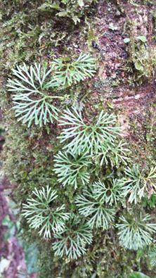 Elaphoglossum peltatum