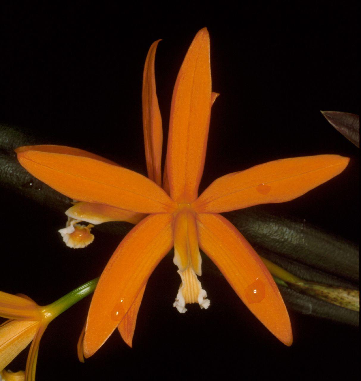 Laelia-harpophylla