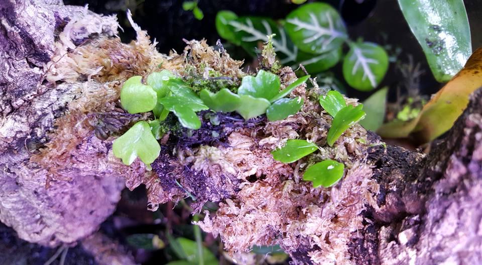 Lemmaphyllum microphyllum 2