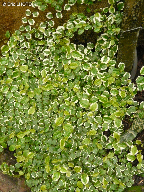 Moraceae-Ficus-repens-Ficus-pumila-Ficus-scandens-2-Figuier-nain-rampant