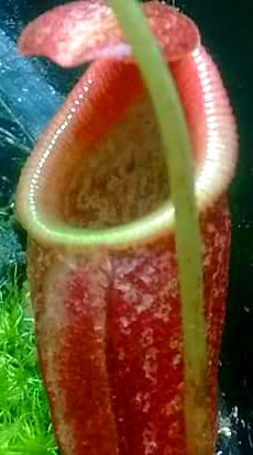 Nepenthes Spectabilis x Jacquelineae