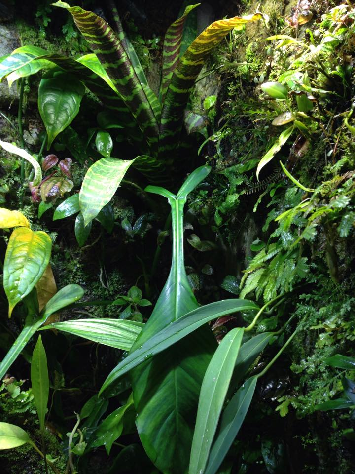 Philodendron joepii