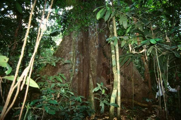 Ridimensiona diforesta amazonica tronco con liane