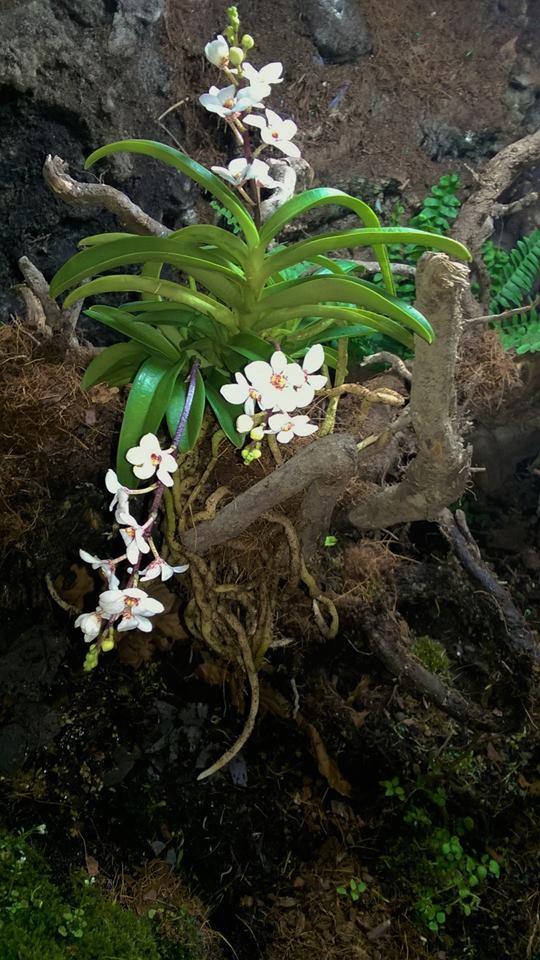 Sarcochilus hartmannii