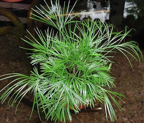 Actiniopteris australis