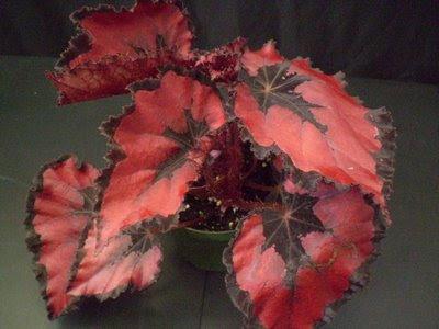 """Begonia """"Rex"""""""