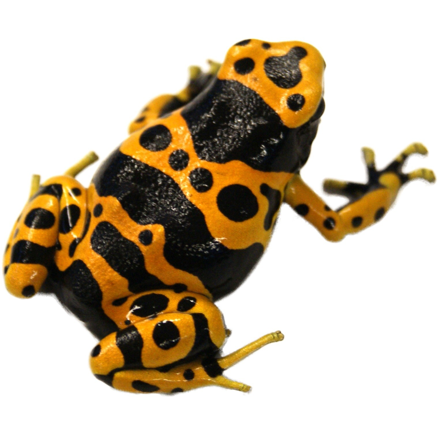 bumble_bee_poison_dart_frog_leuc_dendrobates_leucomelas_for_sale_joshs_frogs_closeup_profile_picture