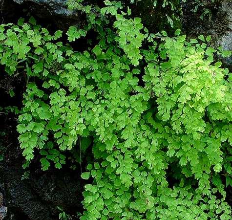 Adiantum capillus-veneris (Capelvenere)