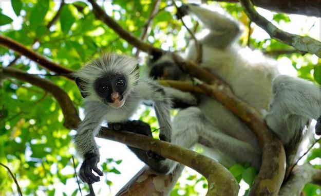 colobi-rossi-sugli-alberi