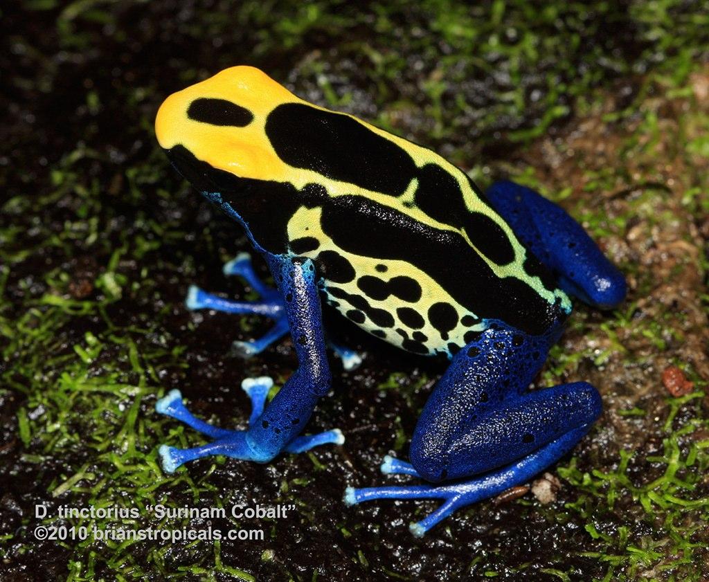 """D. tinctorius """"Surinam Cobalt"""" pair 1 male"""