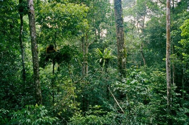 Foresta tropicale di bassopiano nel Borneo