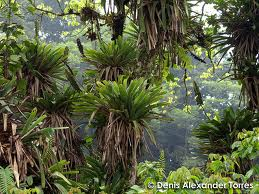 Bromelie epifite sugli alberi della foresta tropicale montana