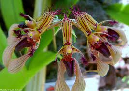 Bulbophyllum ornatissimum