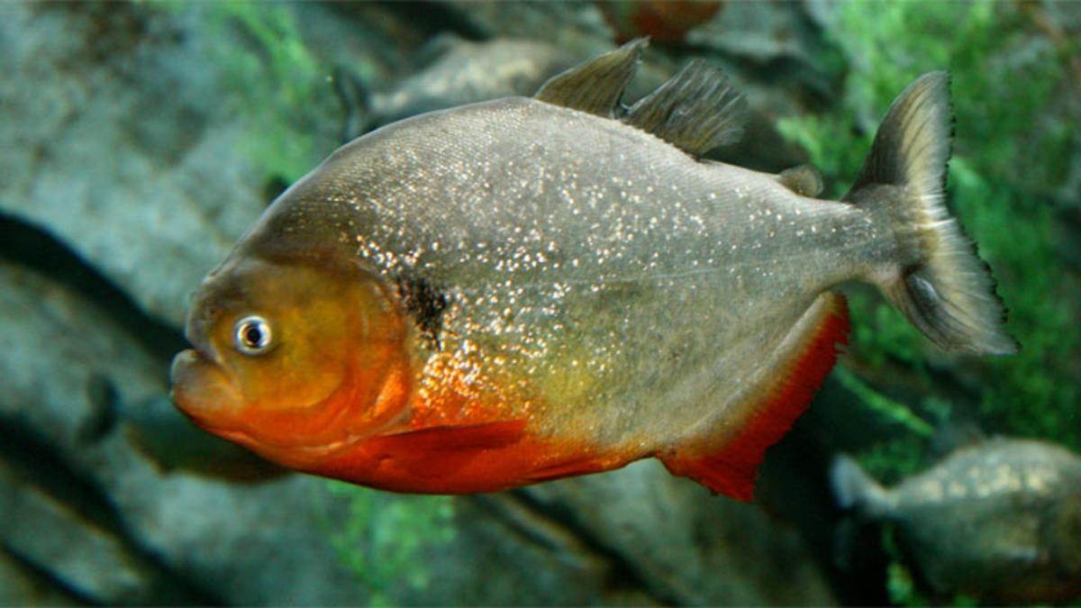 red-bellied-piranha