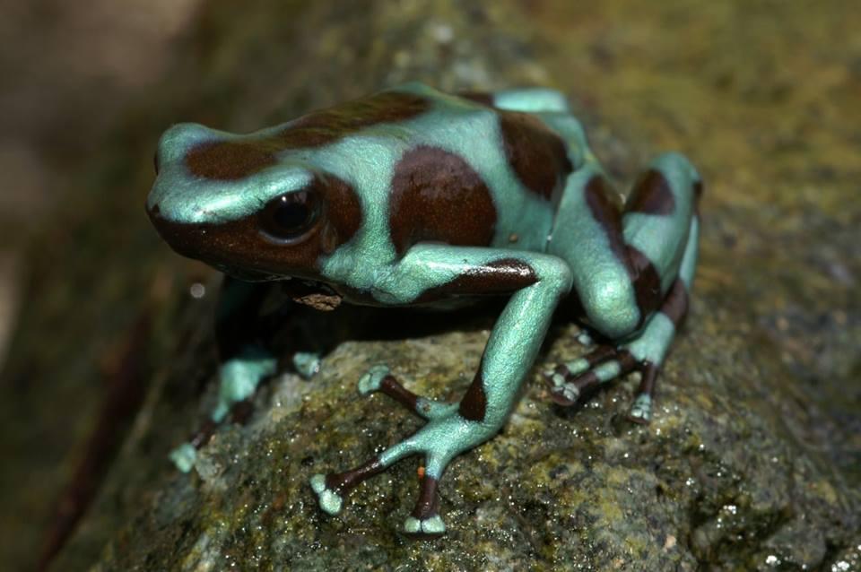D. auratus 'Alto de Piedra' - Panama. 3