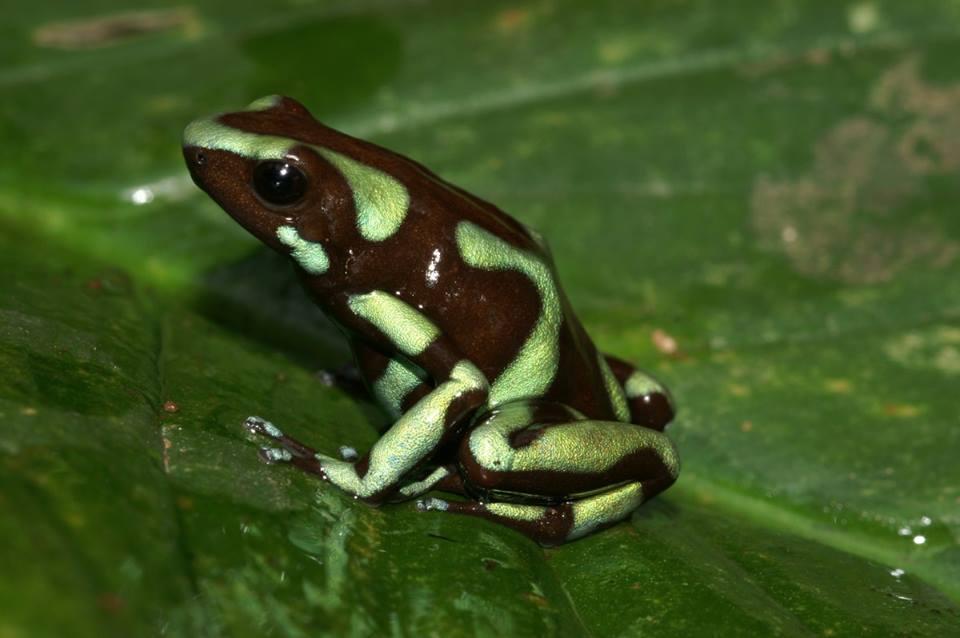 D. auratus 'Taboga' si possono trovare sul isola di Taboga. Questa isola depone davanti alla costa vicino a Panama City, nell'Oceano Pacifico. 4