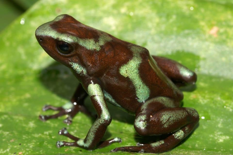 D. auratus 'Taboga' si possono trovare sul isola di Taboga. Questa isola depone davanti alla costa vicino a Panama City, nell'Oceano Pacifico.