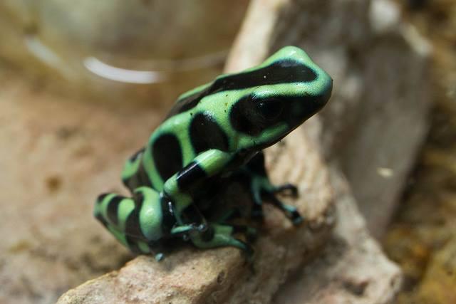 Dendrobates Auratus 'Tobago'
