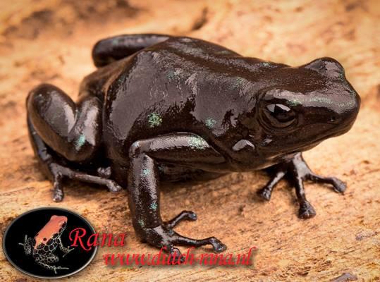 Dendrobatus auratus black