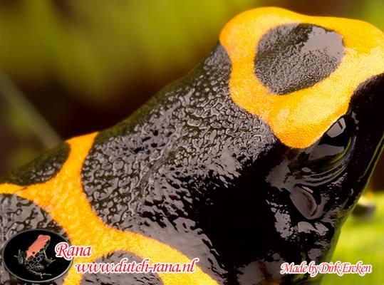 Leucomelas guyana 3