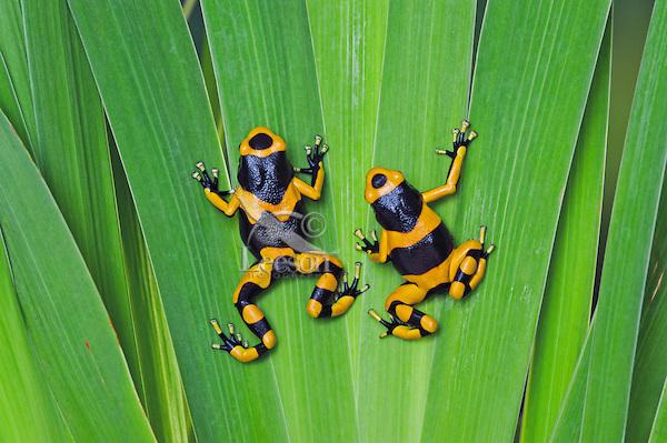 Bumblebee poison dart frog/Guyana Banded dart frog (Dendrobates leucomelas).