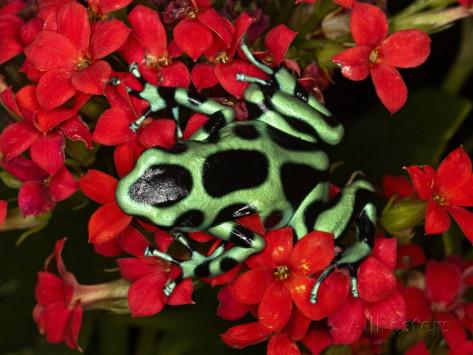 adam-jones-green-and-black-poison-dart-frog-dendrobates-auratus-costa-rica
