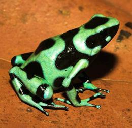 Dendrobates auratus from Río La Gloria, Provincia de Bocas del Toro, Panama. Photo by Thomas Ostrowski.