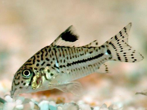 corydoras-trilineatus