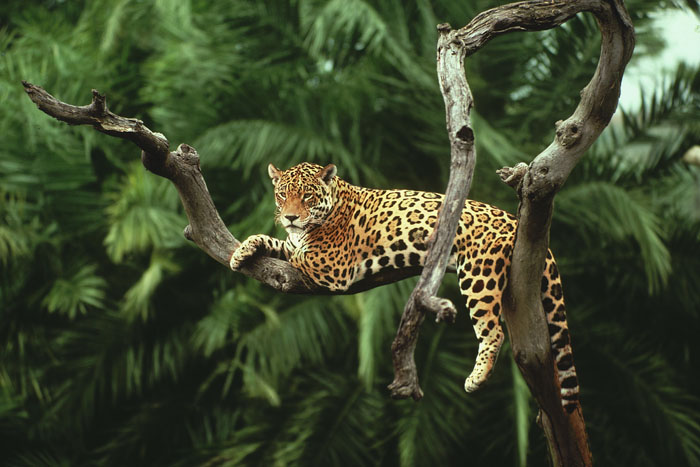 Jaguar in a tree, Brazil
