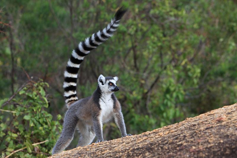 lemuri-madagascar