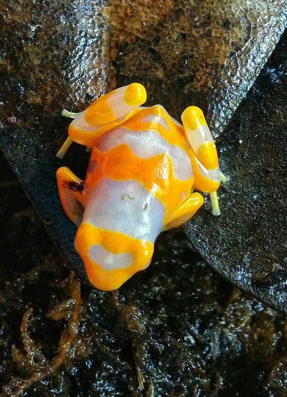 Dendrobates leucomelas morph albino