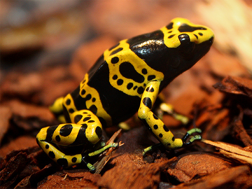sold-out-dendrobates-leucomelas-yellow-banded-dart-frog-7625-p