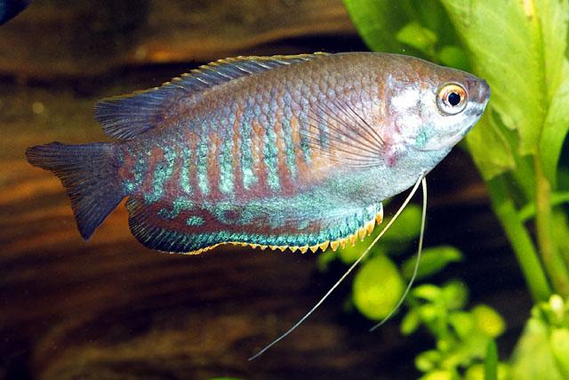 trichogaster_labiosa_hippocampus-bildarchiv_fishbase