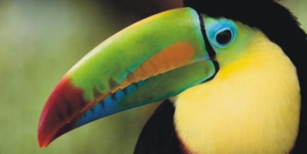 uccello-della-foresta-pluviale