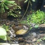 Alcune specie di Dendrobatidi in terrario