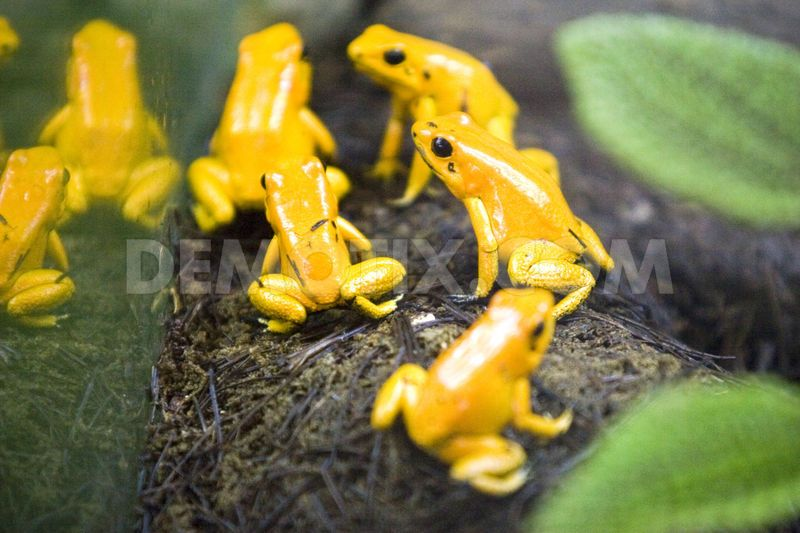 1360795379-the-frog-phyllobates-terribilis-is-one-of-7-marvels-in-the-world_1794815