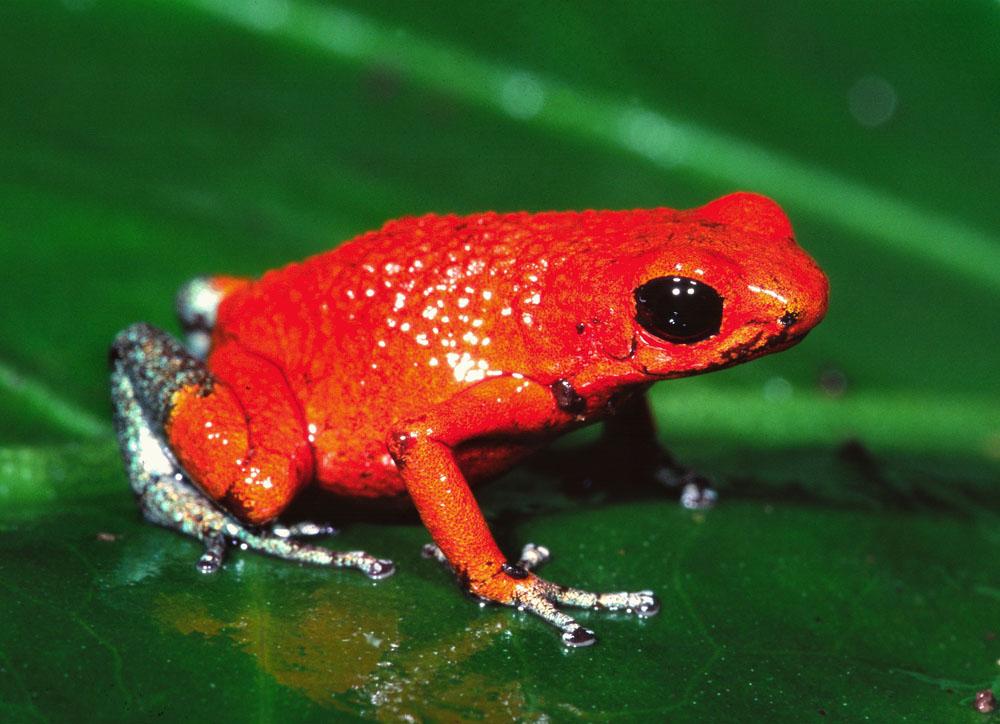 Oophaga pumilio Strawberry poison dart frog