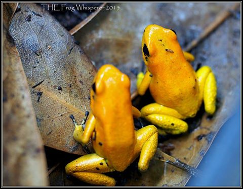 Phyllobates terribilis 'Black Footed Orange' da Tesoros Colombia