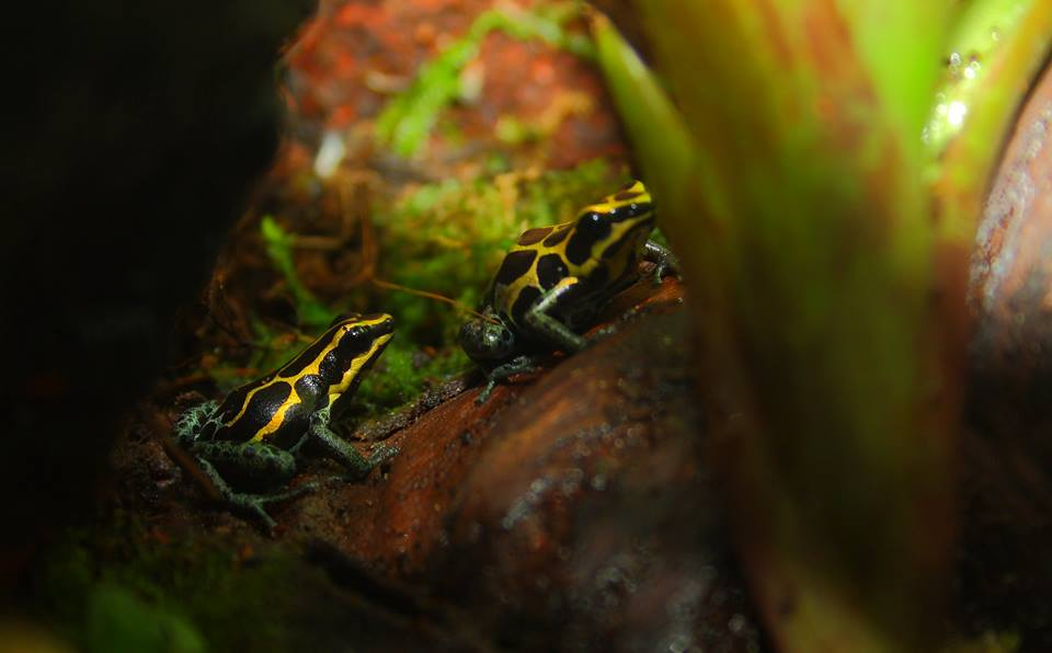 Ranitomeya Ventrimaculata foto Dendro Iberica