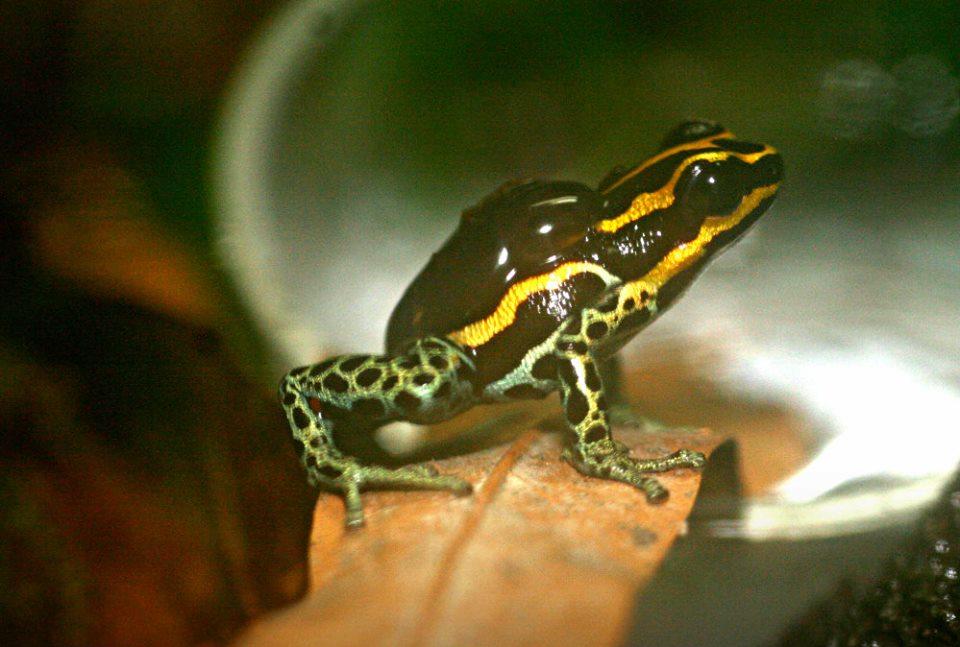 Ranitomeya ventrimaculata 2