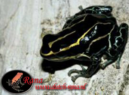 Ranitomeya ventrimaculatus Rodyll