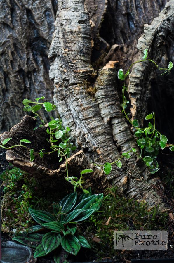Terrarium-for-Encyocratella-olivacea