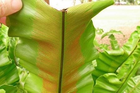 come-coltivare-lasplenium-nidus_63b16228e6c9a0433a4e740cd6164759