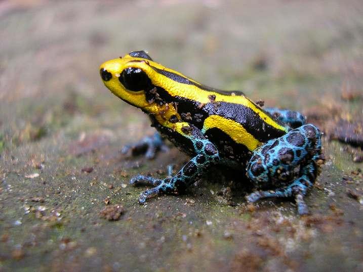 fr_d_ventrimaculatus_yellow_iquitos02