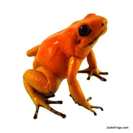 orange_terribilis_joshs-frogs