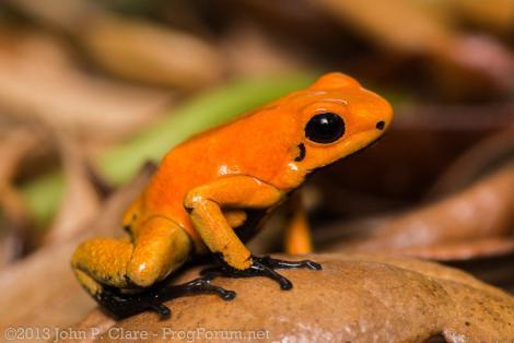 phyllobates-terribilis-orange-blackfoot-john-p-clare-via-frogforum